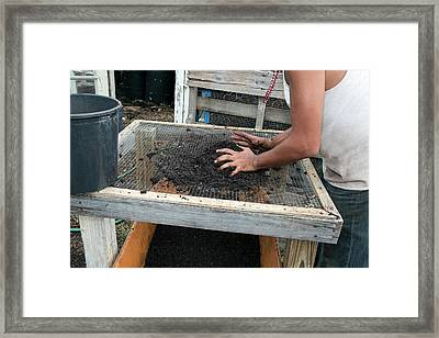 Screening Compost For Gardening Framed Print by Jim West