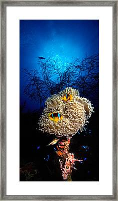 Sea Anemone And Allards Anemonefish Framed Print by Panoramic Images