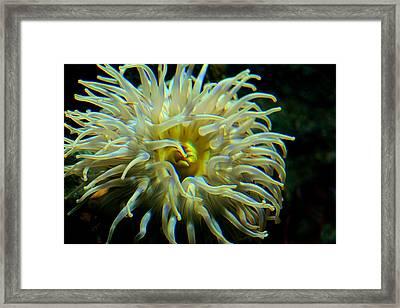 Sea Anemone Framed Print by Mike Flynn
