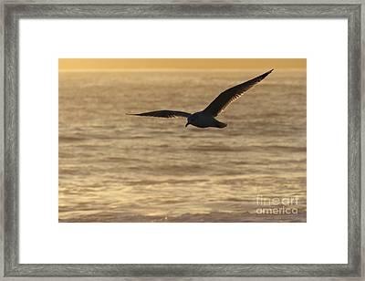 Sea Bird In Flight Framed Print by Paul Topp