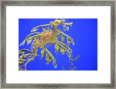 Sea Dragon Framed Print by Randy King