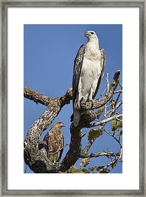 Sea Eagle And Brown Kite Sharing A Tree Framed Print by Douglas Barnard