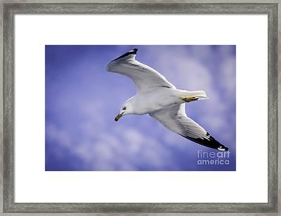 Sea Gull In Flight Framed Print by Timothy Hacker