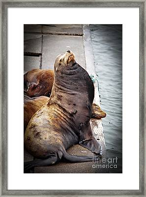 Sea Lion Framed Print by Robert Bales