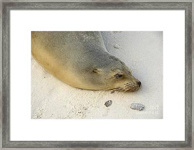Sea Lion Sleeping On Beach Framed Print by Sami Sarkis