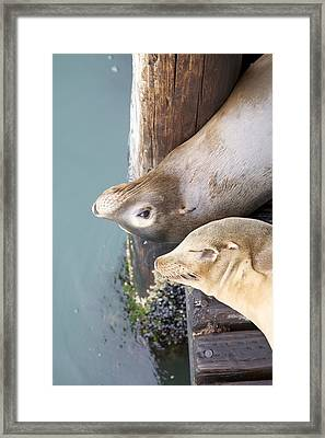 Sea Lions Framed Print by Ashley Balkan
