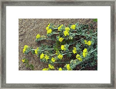 Sea Medick (medicago Marina) Framed Print by Bob Gibbons
