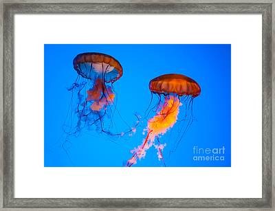 Sea Nettles Framed Print by Anthony Sacco
