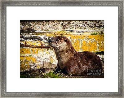 Sea Otter Framed Print by Robert Bales