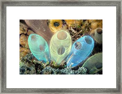 Sea Squirts Framed Print by Ethan Daniels