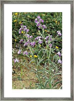 Sea Stock (matthiola Sinuata) In Flower Framed Print by Bob Gibbons