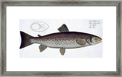 Sea Trout Framed Print by Andreas Ludwig Kruger