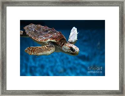 Sea Turtle 5d25079 Framed Print by Wingsdomain Art and Photography