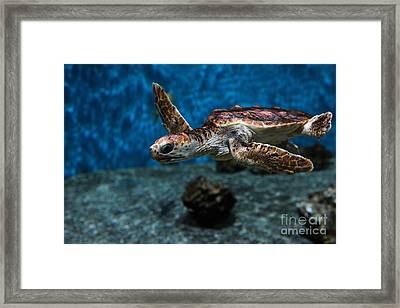 Sea Turtle 5d25083 Framed Print by Wingsdomain Art and Photography