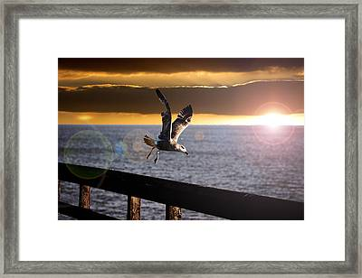Seagull In Flight Framed Print by Martin Newman