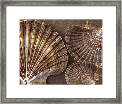Seashells Spectacular No 7 Framed Print by Ben and Raisa Gertsberg