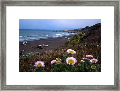 Seaside Daisies On Moonstone Beach Framed Print by Kathy Yates