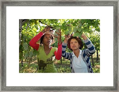 Seasonal Workers Harvesting Grapes Framed Print by Tony Camacho