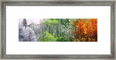 Seasons Of The Aspen Framed Print by Carol Cavalaris