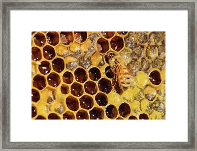 Seattle Close-up Of Bee And Comb Framed Print by Matt Freedman
