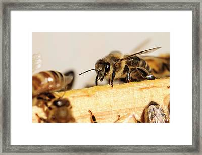 Seattle Close-up Of Honeybee Framed Print by Matt Freedman