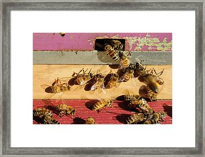 Seattle Honeybees At Entrance To Beehive Framed Print by Matt Freedman