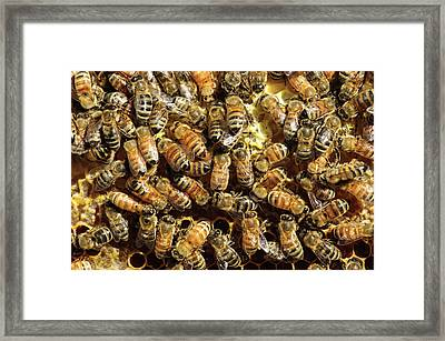 Seattle Honeybees In Beehive Framed Print by Matt Freedman