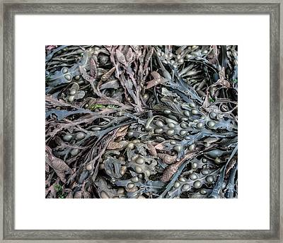 Seaweed Framed Print by Robert Brook