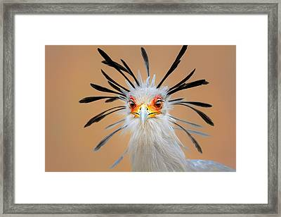 Secretary Bird Portrait Close-up Head Shot Framed Print by Johan Swanepoel