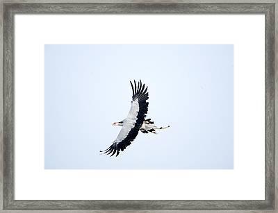 Secretary Bird Sagittarius Serpentarius Framed Print by Panoramic Images