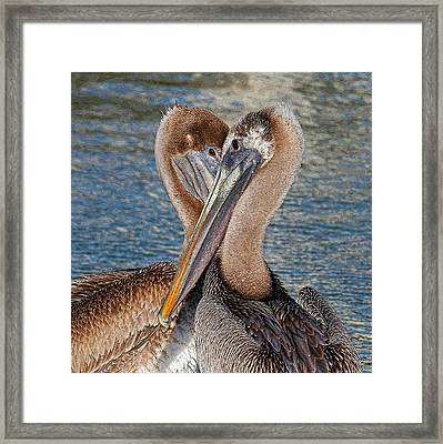 Eye 2 Eye - Heart 2 Heart - Brown Pelican Framed Print by HH Photography of Florida