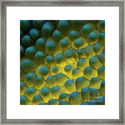 Sem Of Rapeseed Flower Framed Print by Eye of Science