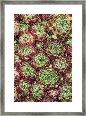 Sempervivum Atlanticum Pattern Framed Print by Tim Gainey