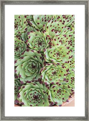 Sempervivum Calacreum Framed Print by Science Photo Library