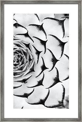 Sempervivum Pattern Monochrome Framed Print by Tim Gainey