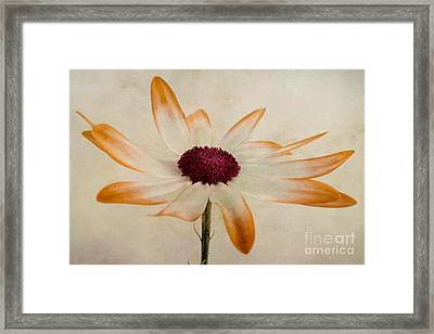 Senetti Pericallis Orange Tip Framed Print by John Edwards