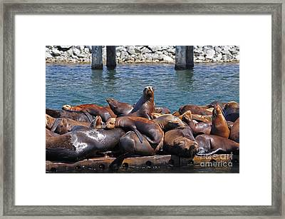 Sentry Sea Lion And Friends Framed Print by Susan Wiedmann
