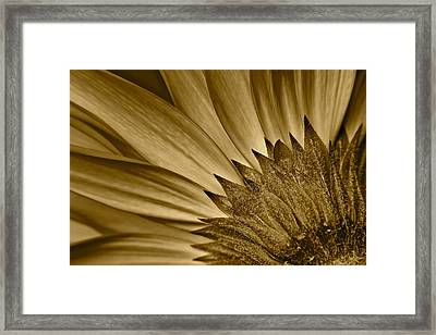 Sepia Daisy Framed Print by Frozen in Time Fine Art Photography