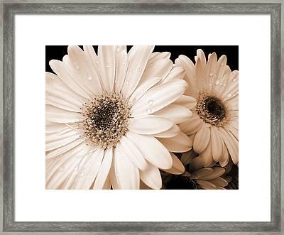 Sepia Gerber Daisy Flowers Framed Print by Jennie Marie Schell