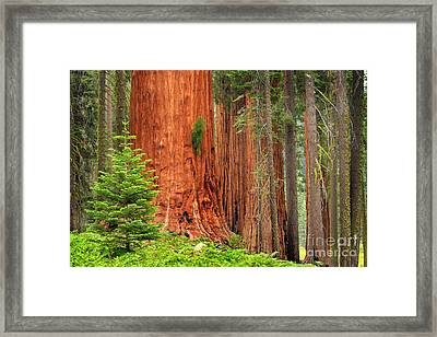 Sequoias Framed Print by Inge Johnsson