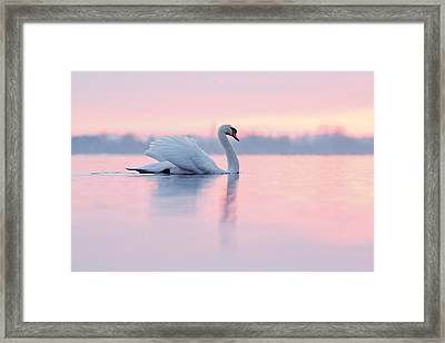 Serenity   Mute Swan At Sunset Framed Print by Roeselien Raimond