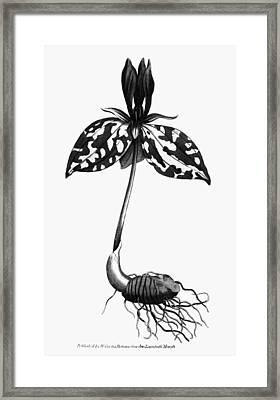 Sessile Trillium, 1787 Framed Print by Granger