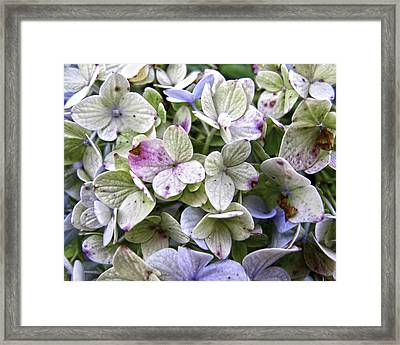 Shabby Hydrangea Framed Print by Rose  Fleming