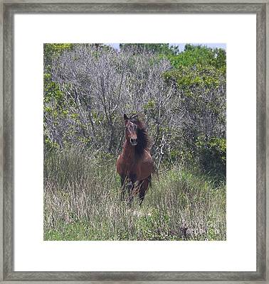 Shackleford Pony Framed Print by Cathy Lindsey