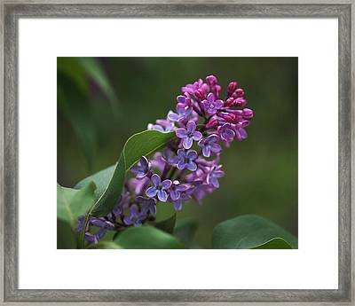 Shades Of Lilac  Framed Print by Rona Black