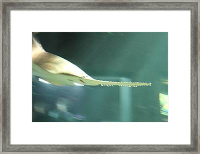 Shark - National Aquarium In Baltimore Md - 121215 Framed Print by DC Photographer