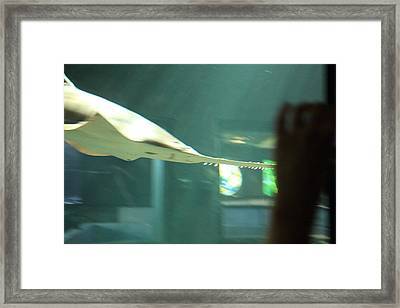 Shark - National Aquarium In Baltimore Md - 121216 Framed Print by DC Photographer