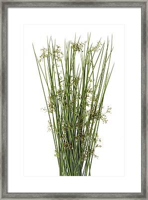 Sharp Grass Framed Print by Aleksandr Volkov