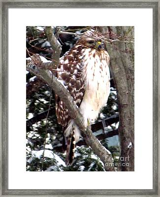 Sharp Shinned Hawk At Rest Framed Print by Anthony Morretta