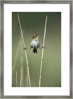 Sharp-tailed Sparrow On Reeds Long Framed Print by Tom Vezo